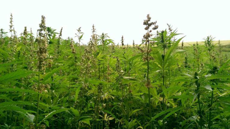 weed-3