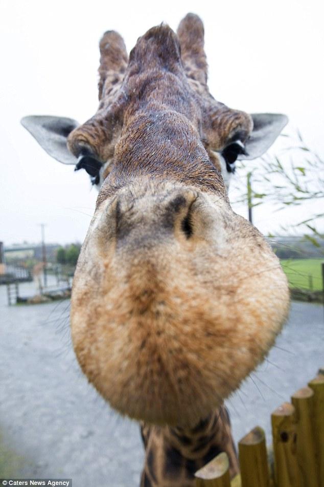 世界上最高的长颈鹿
