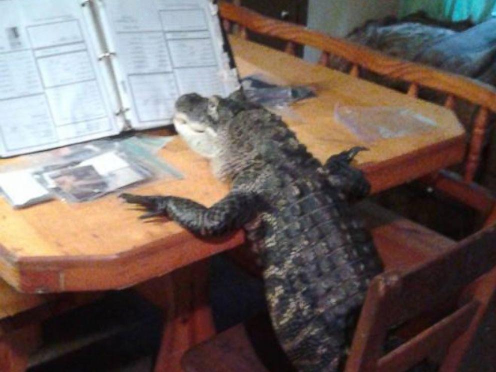 HT_pet_alligator_06_mm_160317_4x3_992