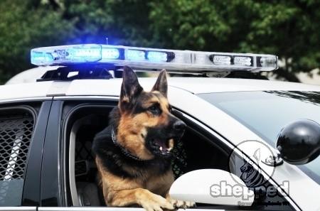 police-german-shepherd