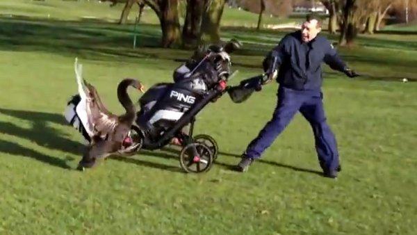 Golf-Swan-attack