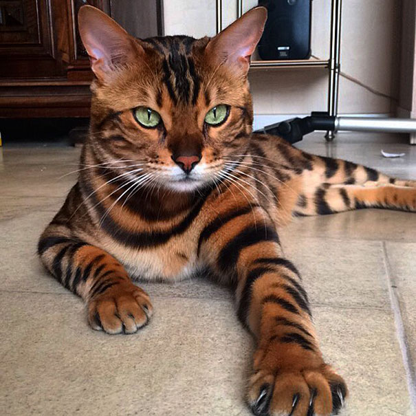爪子像老虎,看背像豹子,外加一副绿瞳,这只喵,拽爆~