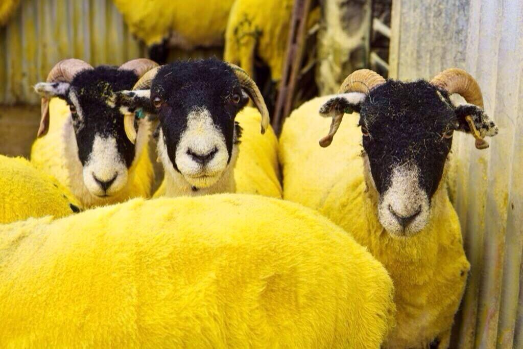 Yellow-sheep-Tour-de-France-Yorkshire-close