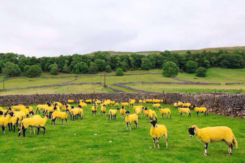 Yellow-sheep-Tour-de-France-Yorkshire