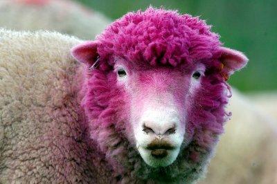 pink-sheep