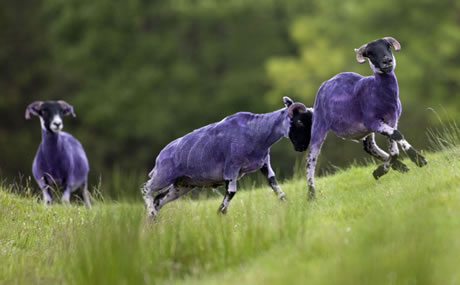 purple-sheep-image-1-885810429