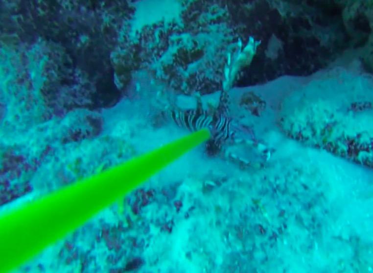 用鱼来撸管_这群科学家每天在海底叉狮子鱼然后喂给鲨鱼,是为了保护海域 ...