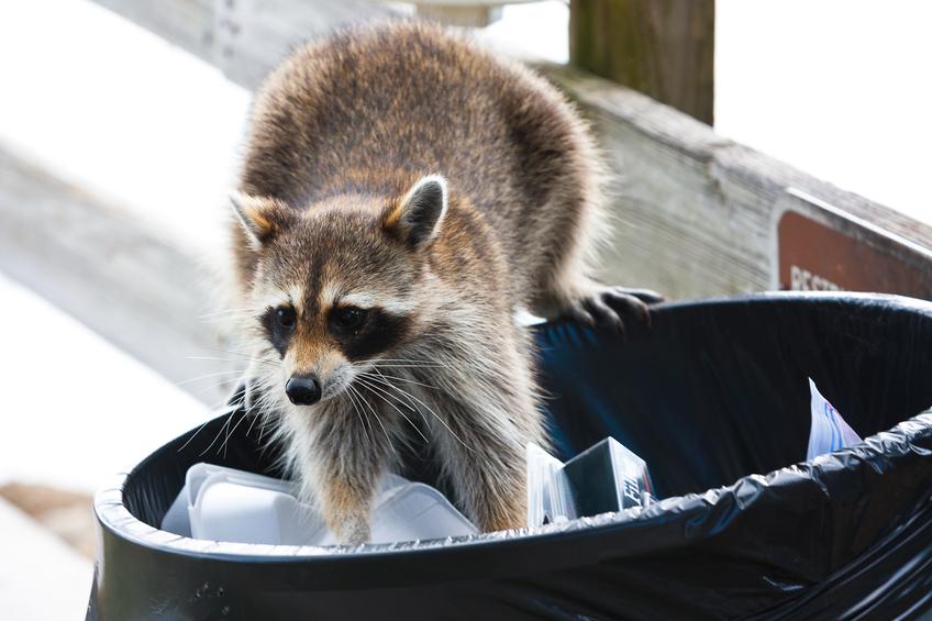 raccoon-pest-control