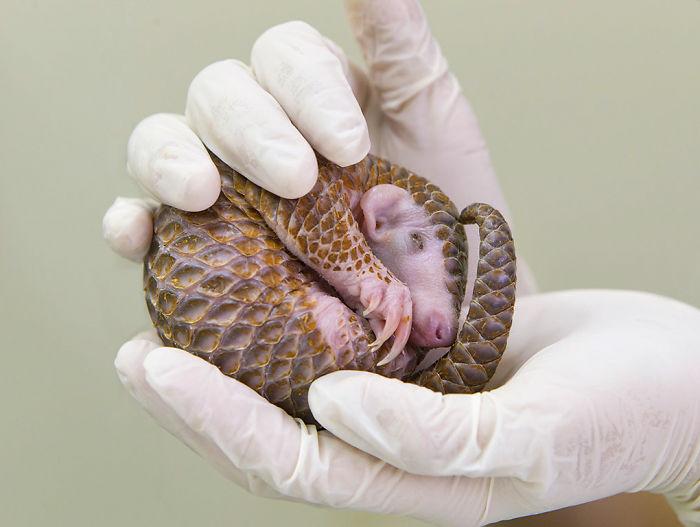 baby-pangolin-facts-32-580f5a1a2c11d__700