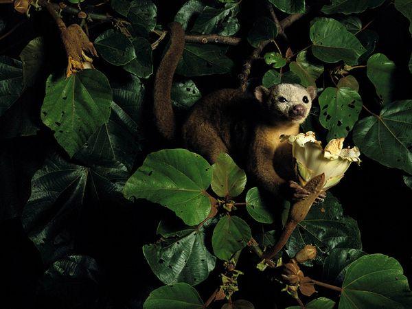 Kinkajou-eating-nectar.-Costa-Rica-Wildlife-Kinkajou.-Geckoes-Lodge-Puerto-Viejo-Costa-Rica