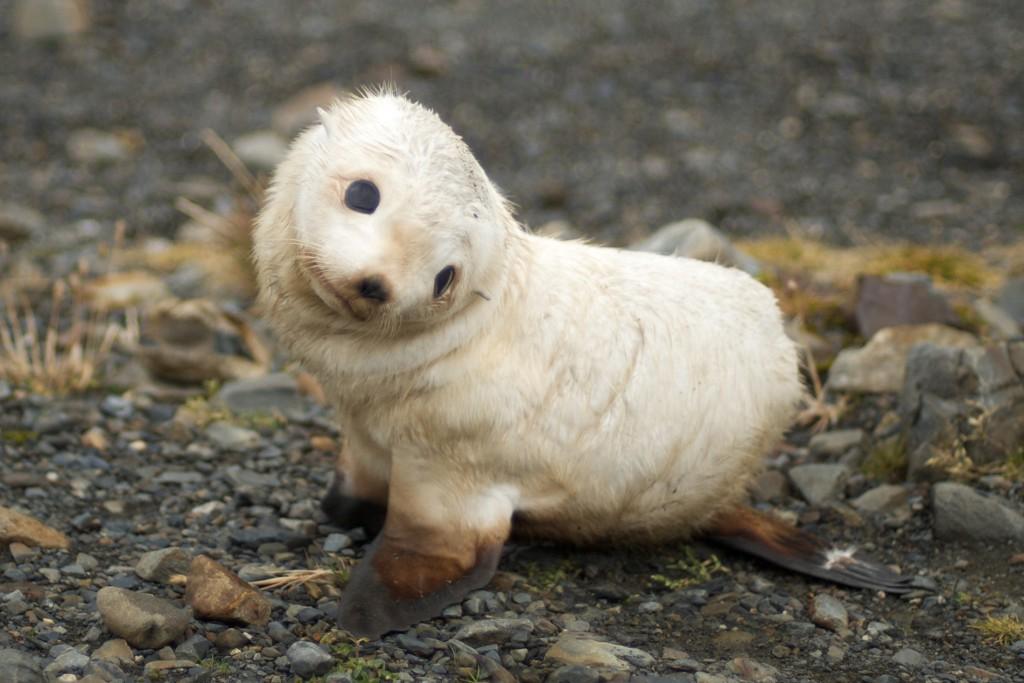 antarctic_fur_seal_South_Georgia1-1024x683