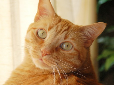 orange-cat12