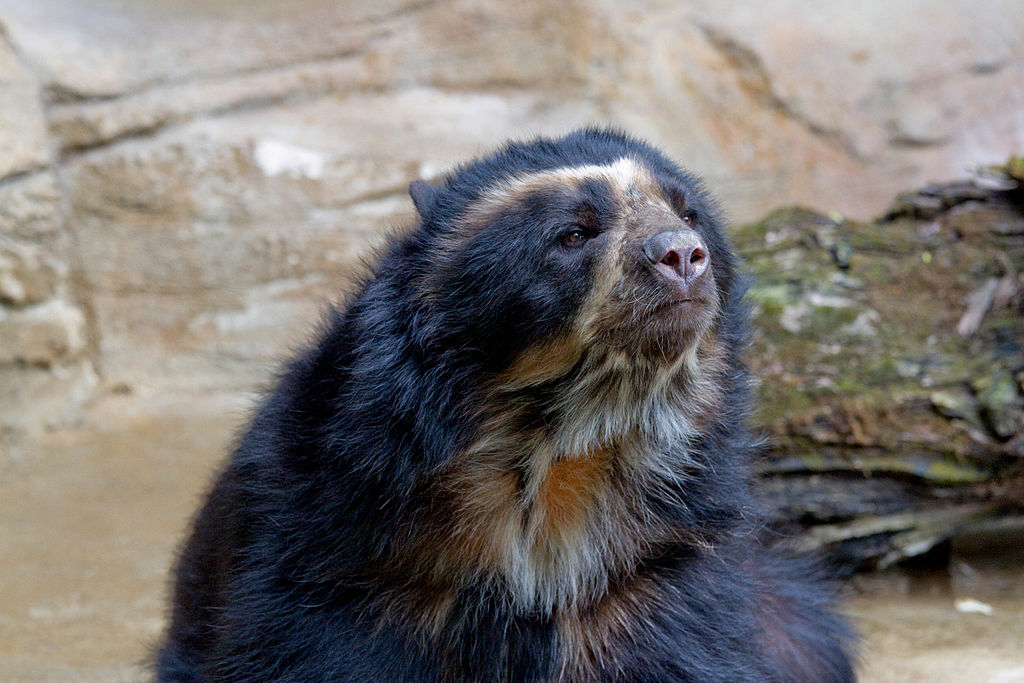 spectacled-bear1