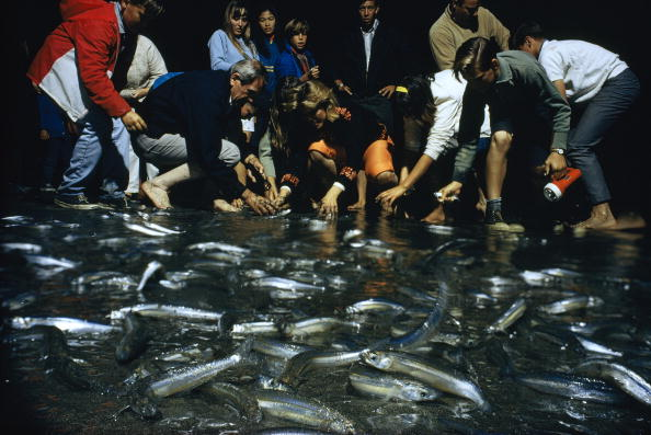 UNITED STATES - MAY 01: Young and old scramble to catch grunions who come to shore to spawn, San Pedro, Califonia (Photo by Robert F. Sisson/National Geographic/Getty Images)
