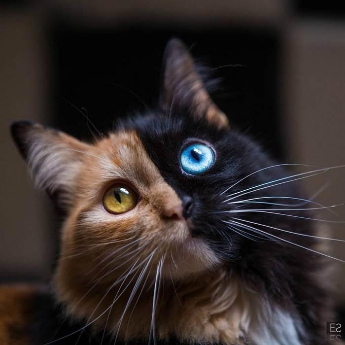 chimera-cat-split-face-different-eyes-gataquimera-25