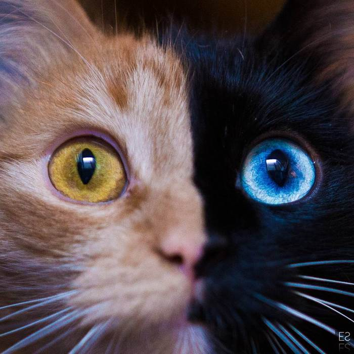 chimera-cat-split-face-different-eyes-gataquimera-29