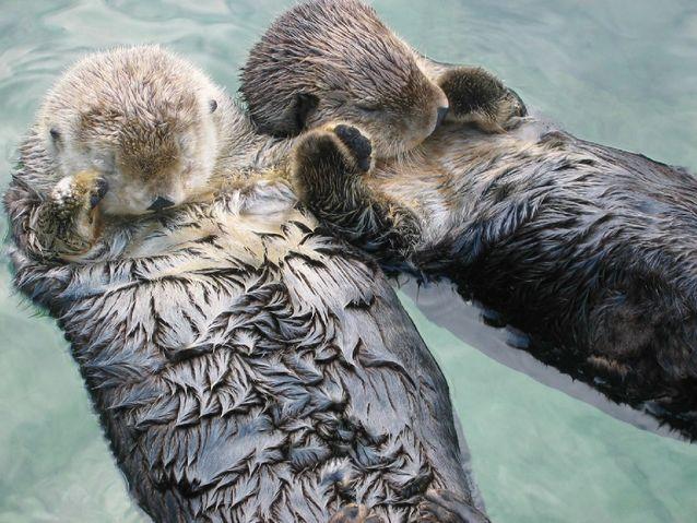 Sea_otters_holding_hands.jpg.638x0_q80_crop-smart