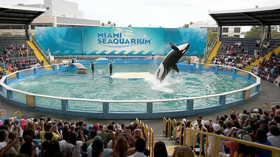sfl-killer-whale-lolita-will-remain-at-show-in-001