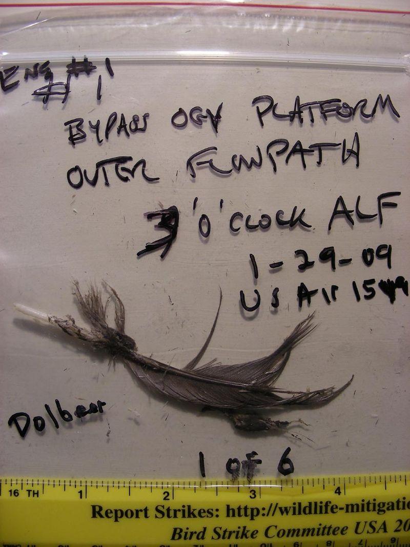 800px-USAir_1549_bird_feather