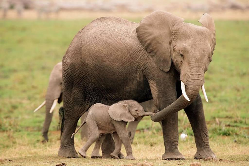 Elephant-Parenting-