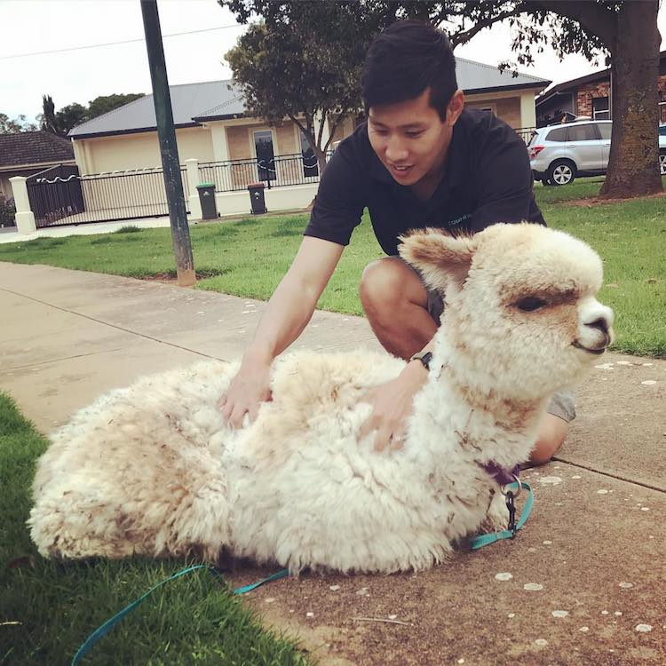alfie-the-alpaca-in-adelaide-4