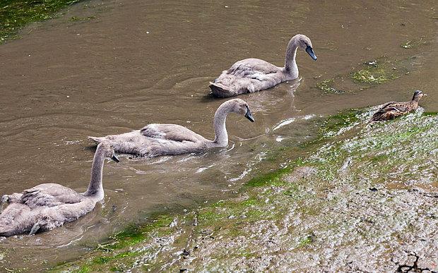 cygnets-duck_3385438b