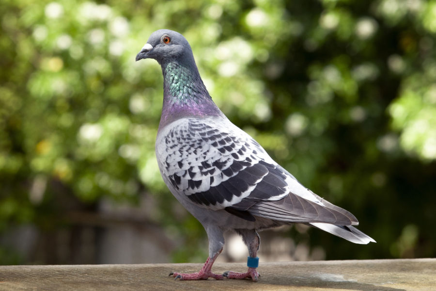 check feather pattern of homing speed racing pigeon on loft roof