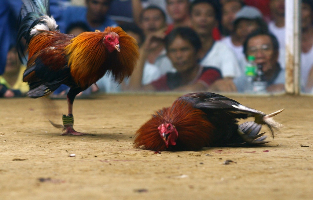 5-Crazy-Things-You-Didnt-Know-About-Cockfighting.jpg