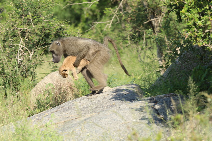 Baboon-steals-lion-cub-and-recreates-iconic-The-Lion-King-scene-5e3a1f395af81__880