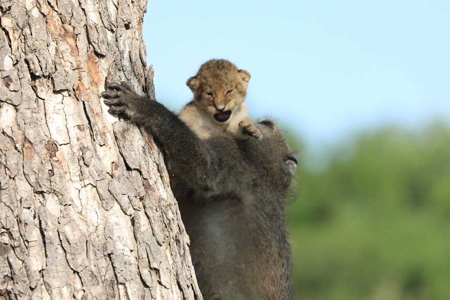 Baboon-steals-lion-cub-and-recreates-iconic-The-Lion-King-scene-5e3a1f6da9314__880